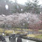 桜に雪が舞う国立京都国際会館